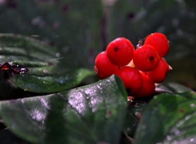 Ripe Bunch Berries!Spruce Bog Trail