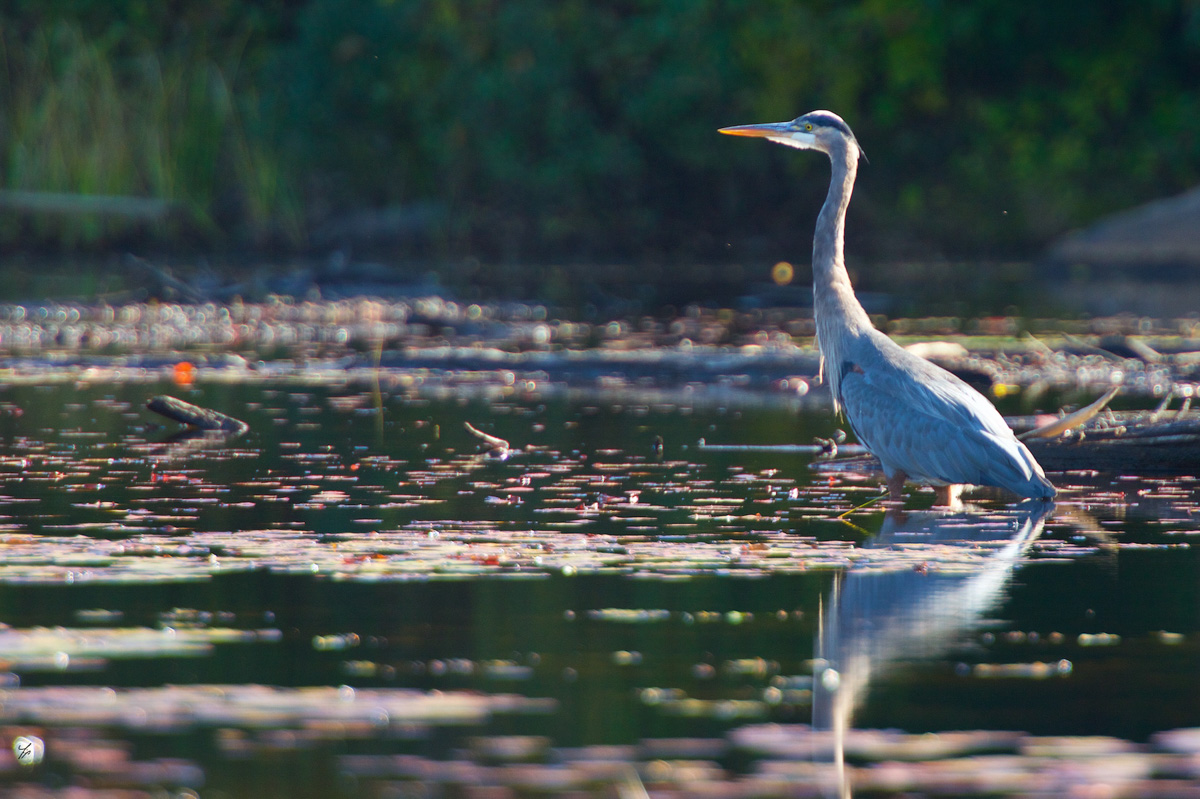 Fall Heron in Algonquin Park