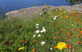 Algonquin Wildflowers