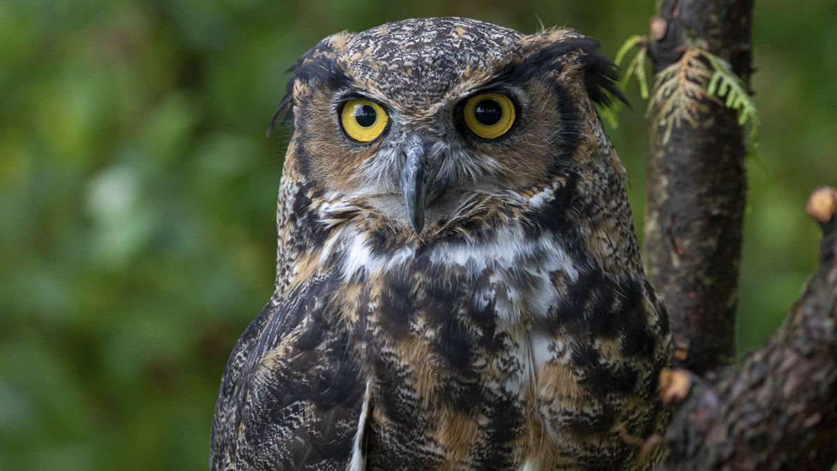 Great Horne Owl