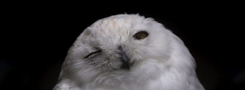 Algonquin Owl